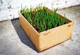 Growing vegetables in wooden box